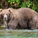 bristol bay grizzly bear